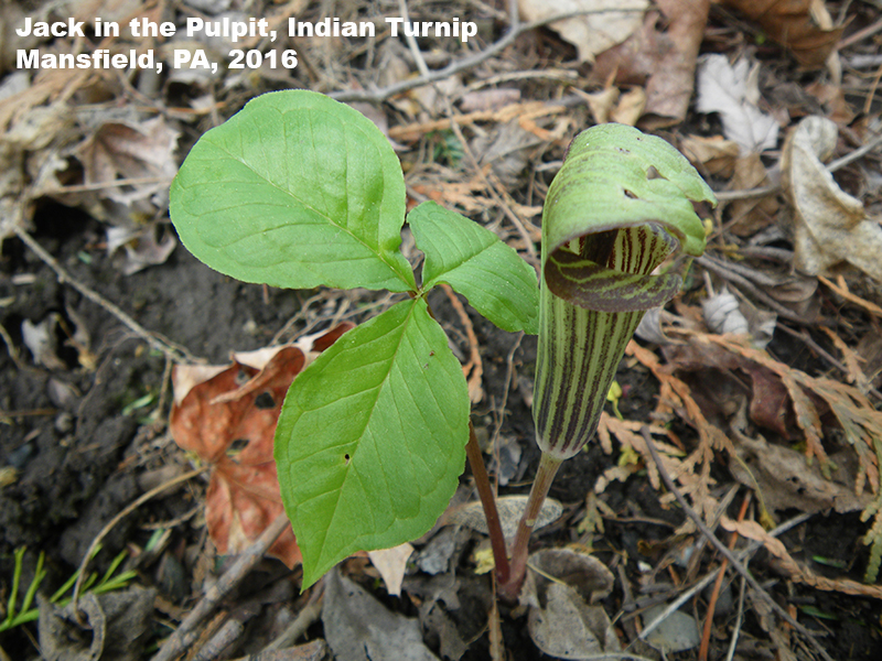 Jack in the Pulpit plant, Indian Turnip, Mansfield, PA 2016