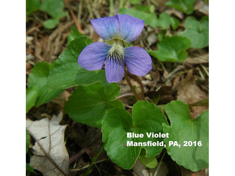 Blue Violet flower, Mansfield, PA 2016