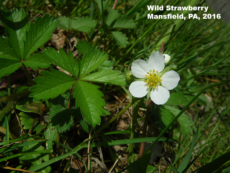 Wild Strawberry flower and leaves, Mansfield, PA 2016
