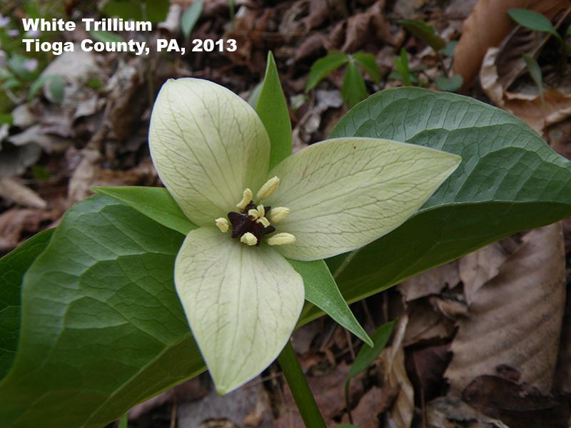 White Trillium flower, Tioga County, PA 2013
