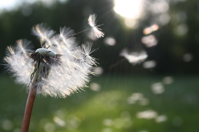 Pollen Dandelion