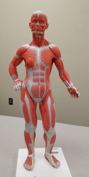Muscles - Anatomical Models @ Laupus Library - Research