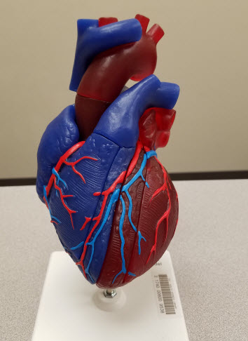 Hearts - Anatomical Models @ Laupus Library - Research Guides at