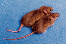 Cloned Mice with Different DNA Methylation, (Photograph courtesy of Emma Whitelaw, University of Sydney, Australia.) - Bradbury J: Human Epigenome Project—Up and Running. PLoS Biol 1/3/2003: e82. http://dx.doi.org/10.1371/journal.pbio.0000082. Licensed under Creative Commons Attribution 2.5 via Wikimedia Commons - http://commons.wikimedia.org/wiki/File:Cloned_mice_with_different_DNA_methylation.png#mediaviewer/File:Cloned_mice_with_different_DNA_methylation.png