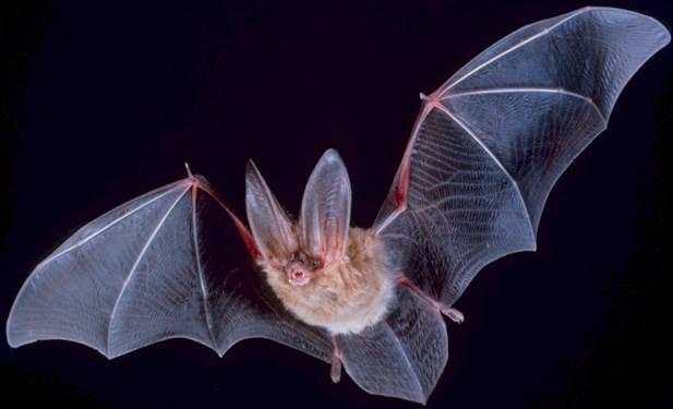 TOwnsendu0027s Big Eared Bat
