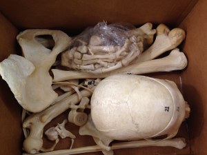 Bone Boxes - Anatomy Learning Tools - HarrellGuides at Penn State ...