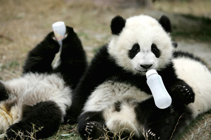 Pandas Ancient China Libguides At Seton Catholic College