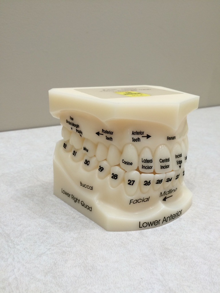 Numbered tooth model