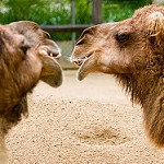 Conversation between Camels