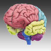 3D Brain App--please select iOS or Android below to access the app.