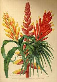 Leguminosas. 1. Erythrina (Hibrida) Maria Bellanger. 2. Swainsona lessertiaeforia DC. 3. Lupinus insignis (Hibrido). 4. Wisteria Sinensis DC. Variedad albiflora