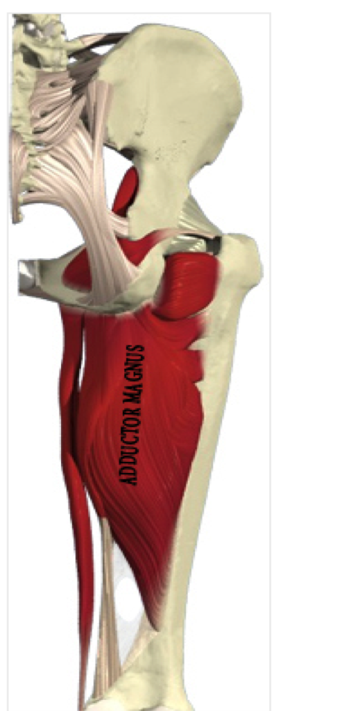 Back Muscles - Health  U0026 Pe10 Human Movement