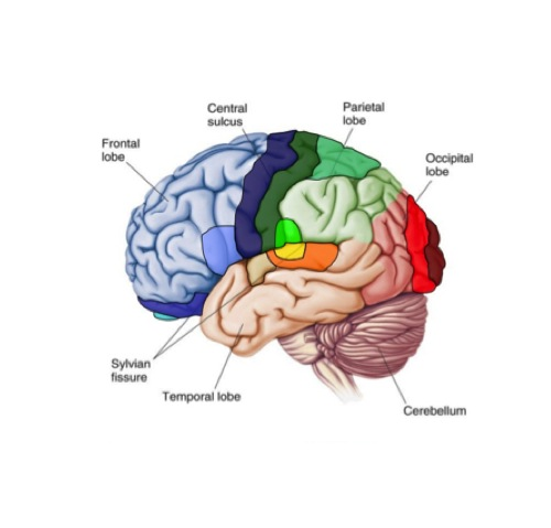 Brain health pe10 human movement cs sss guides at st brain ccuart Images
