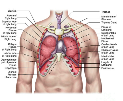 Chest wall with lungs