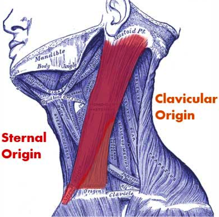 Front Muscles - Health & PE10 Human Movement (CS) - SSS Guides at St ...