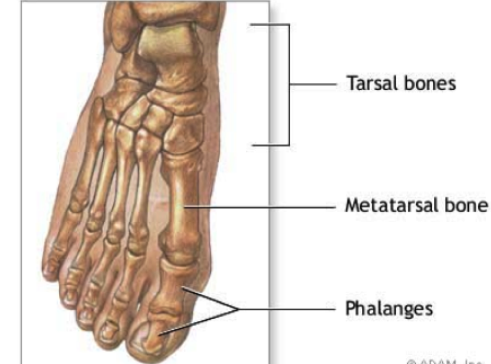 Q Where are the phalanges located in a human body