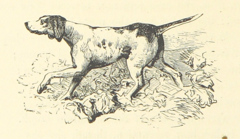 drawing of pointer (hunting dog)