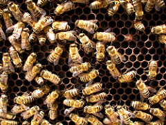 Bees in a hive.