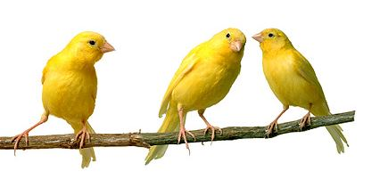 Canaries listening