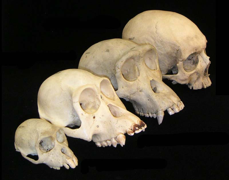 A look at how skulls human skulls have evolved over time