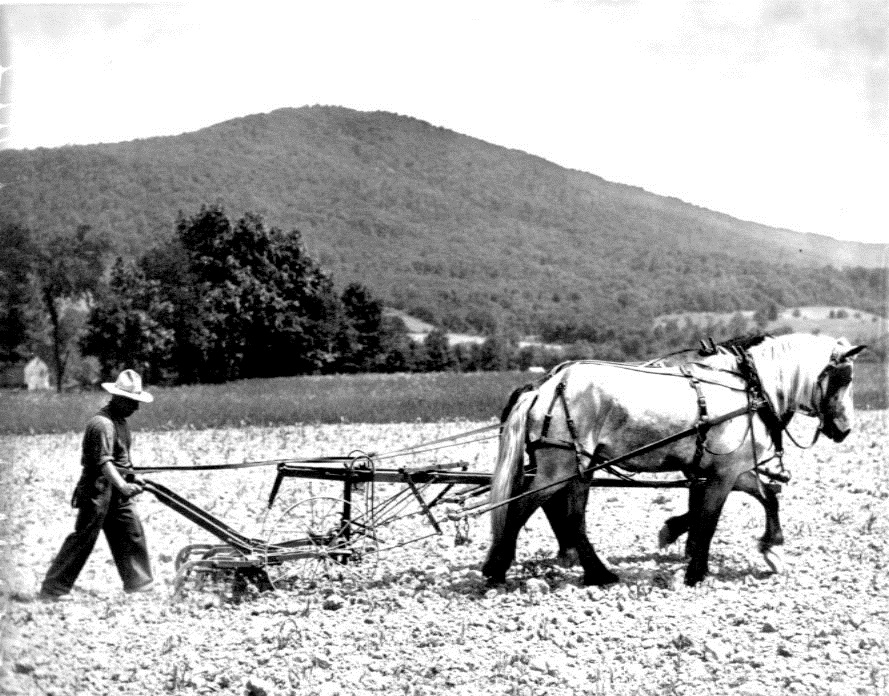 Man guiding a cultivator and holding the reins of the horse harnessed to pull it.