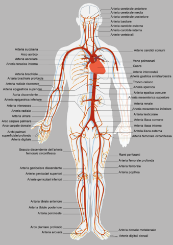 Diagram of human anatomy