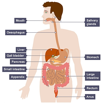 Introduction science year 8 biology digestive system diseases bbc bitesize digestive system ccuart Images