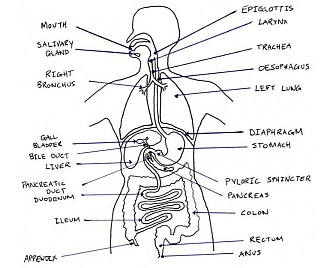 Introduction - Science: Year 8: Biology: Digestive System ...
