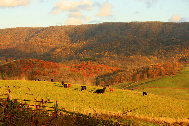 Cattle grazing in a field with forested hills in the distance