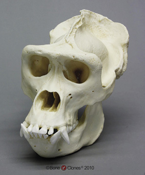 Primate Skull in Bone Clones set