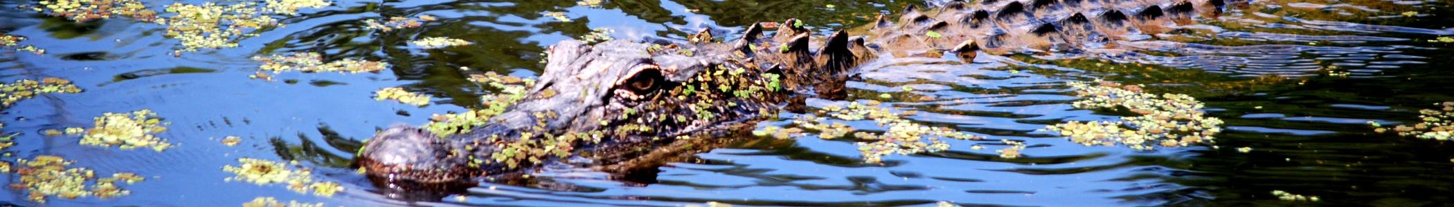 alligator in swamp banner