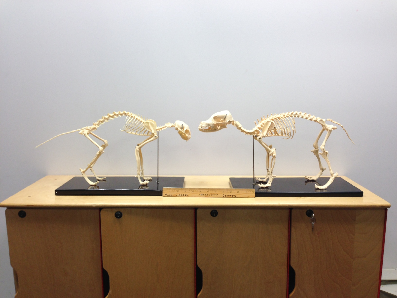 Dog & Cat - Anatomy, Veterinary - MWU Library at Midwestern University
