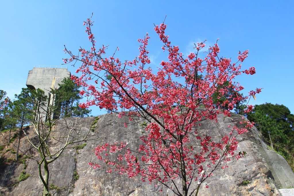 Sakura in the Chinese University of Hong Kong