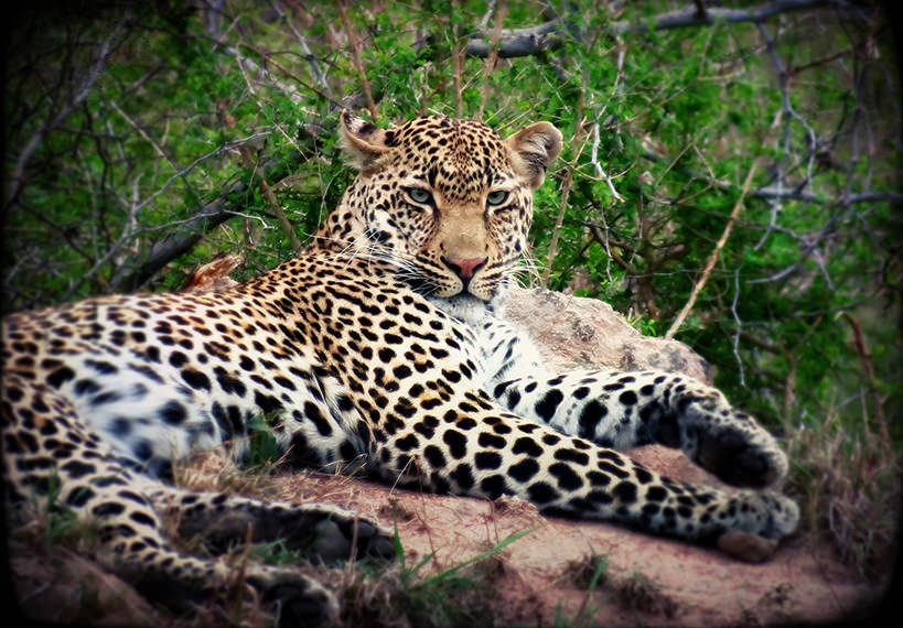 Lounging leopard, South Africa