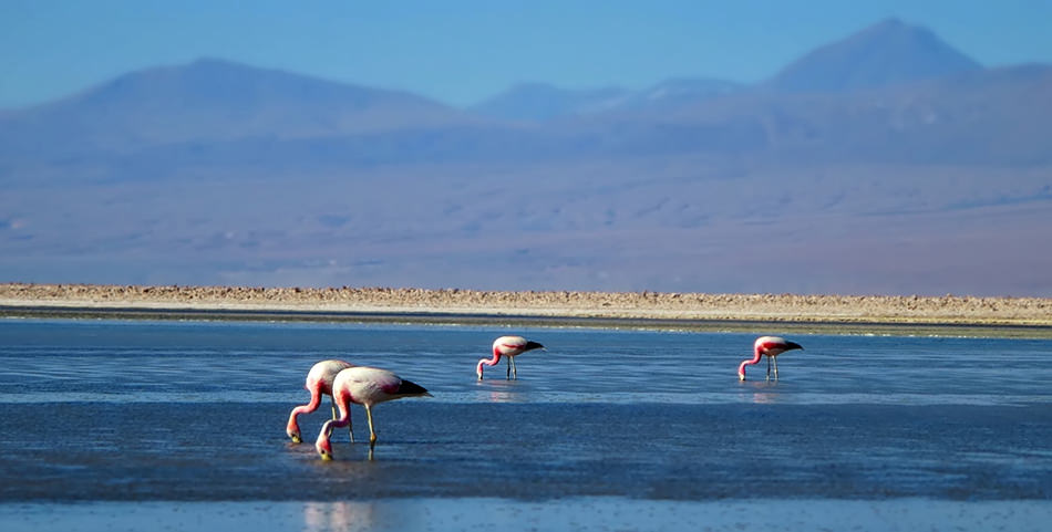 Atacama Salt Flat Flamingos