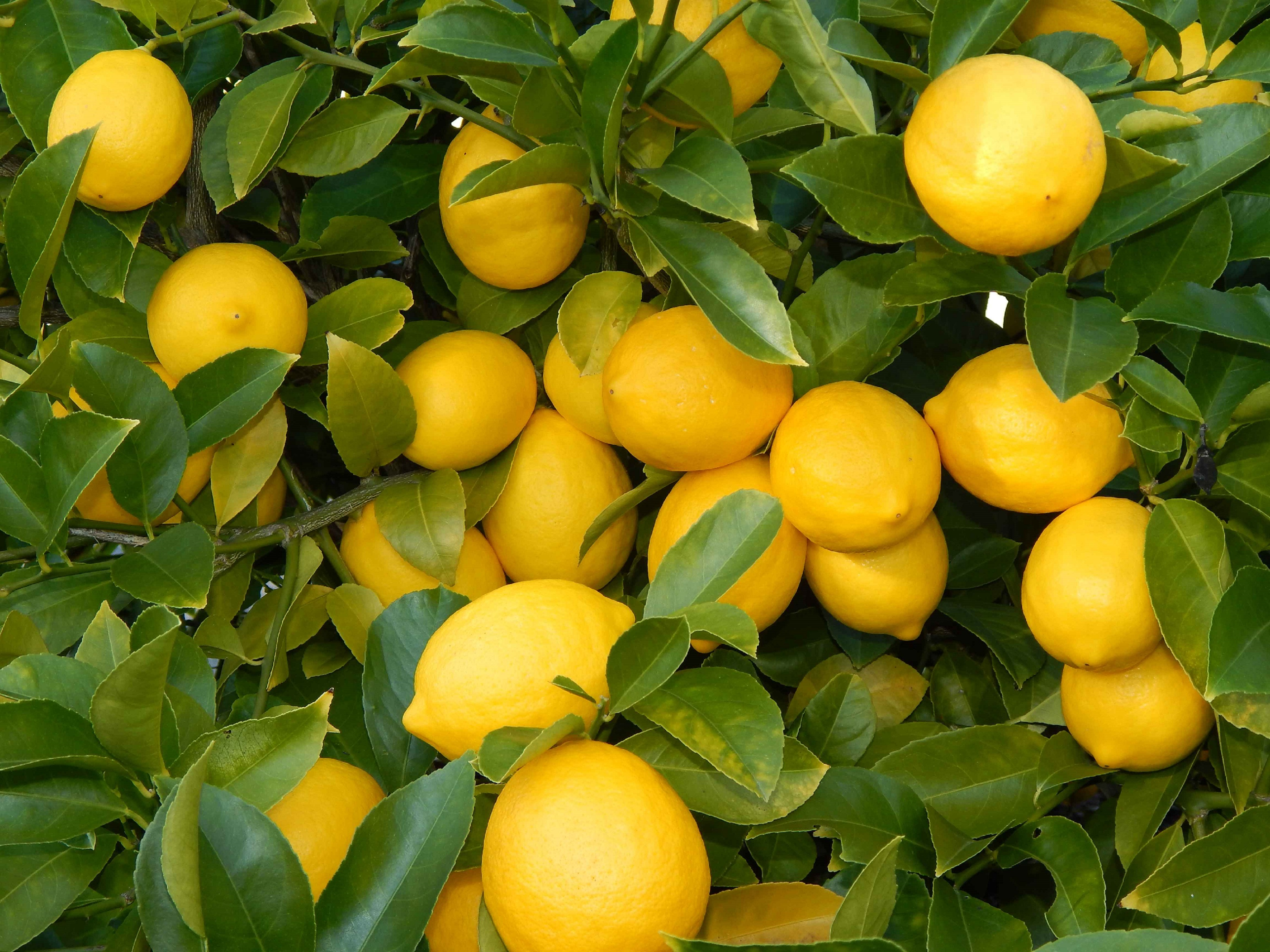 Lemon Tree  More Than Pretty