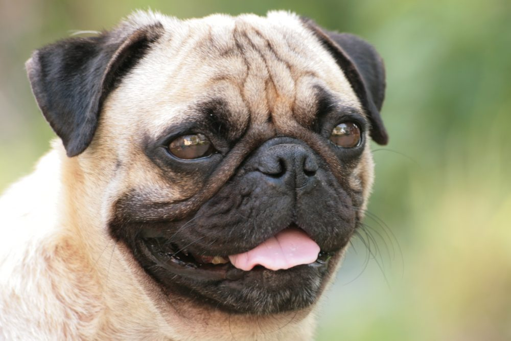 3. Pug | 10 Best Dog Breeds For Seniors | Life360 Tips