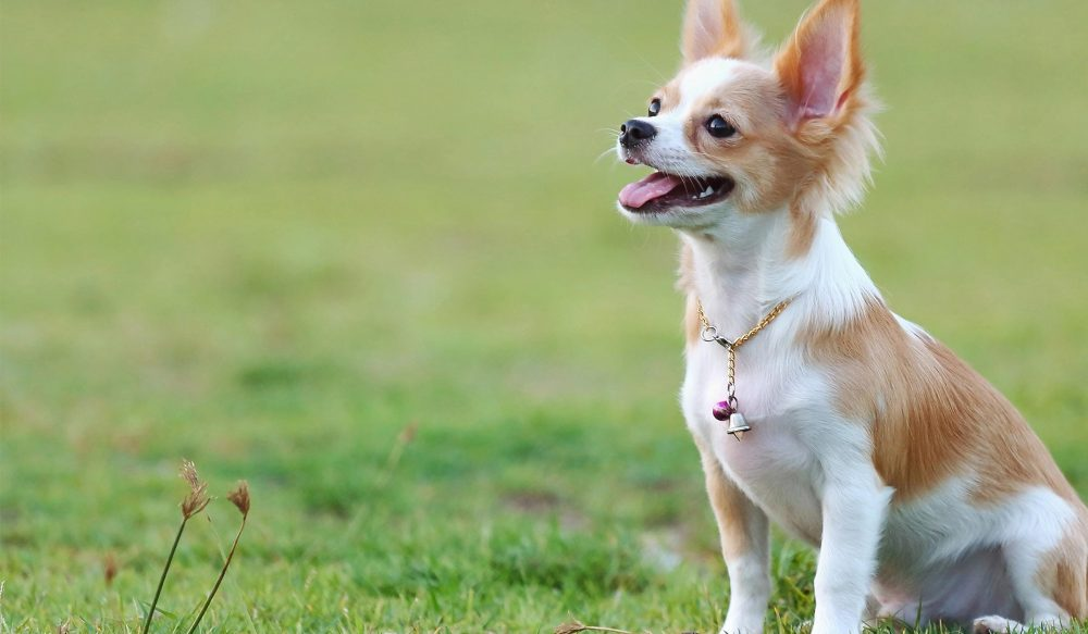 4. Chihuahua | 10 Best Dog Breeds For Seniors | Life360 Tips