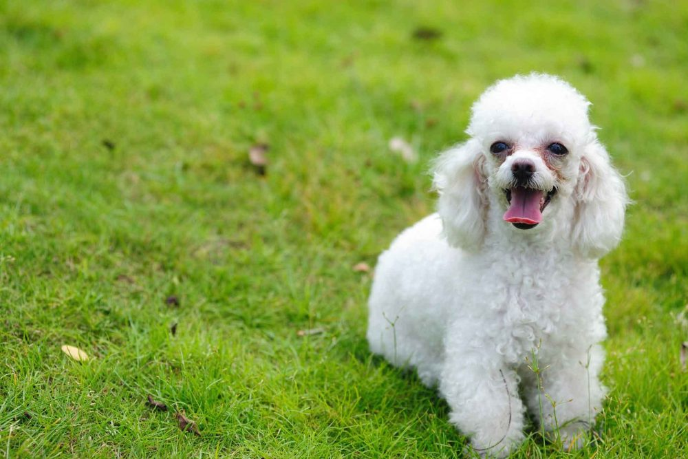 8. Poodle | 10 Best Dog Breeds For Seniors | Life360 Tips