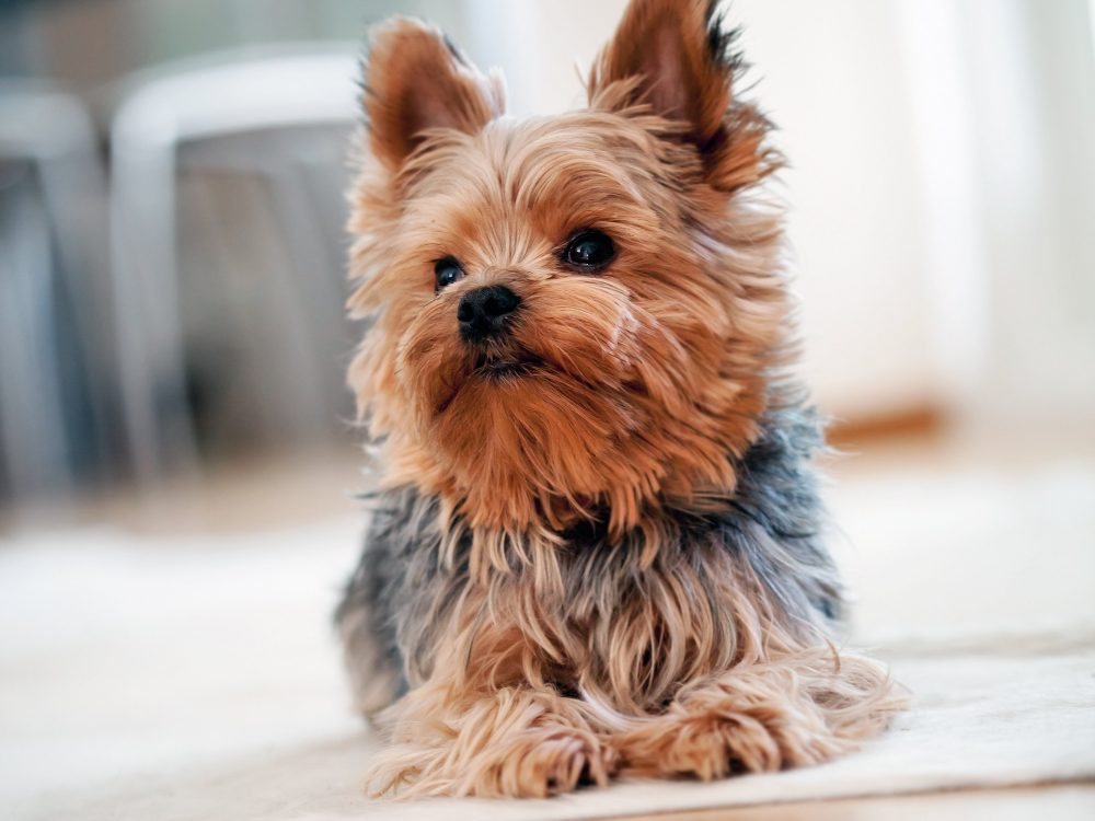 9. Yorkshire Terrier | 10 Best Dog Breeds For Seniors | Life360 Tips