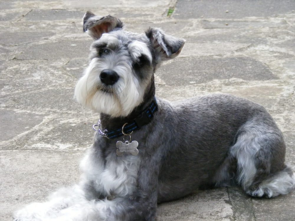 2. Schnauzer | 10 Best Dog Breeds For Seniors | Life360 Tips