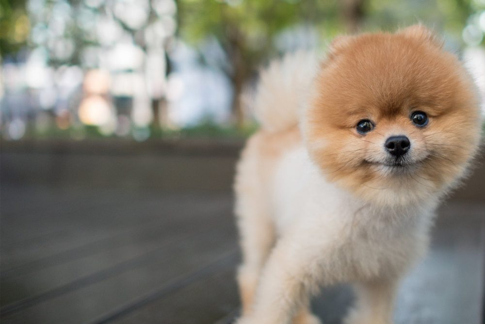 7. Pomeranian | 10 Best Dog Breeds For Seniors | Life360 Tips
