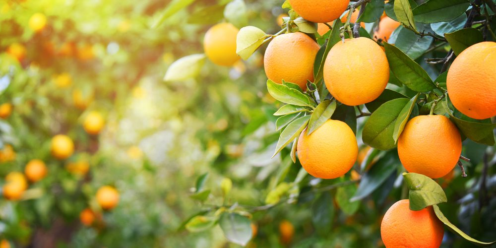 Oranges | 8 Fruits That Will Help Shed Those Unwanted Pounds | Life360 Tips