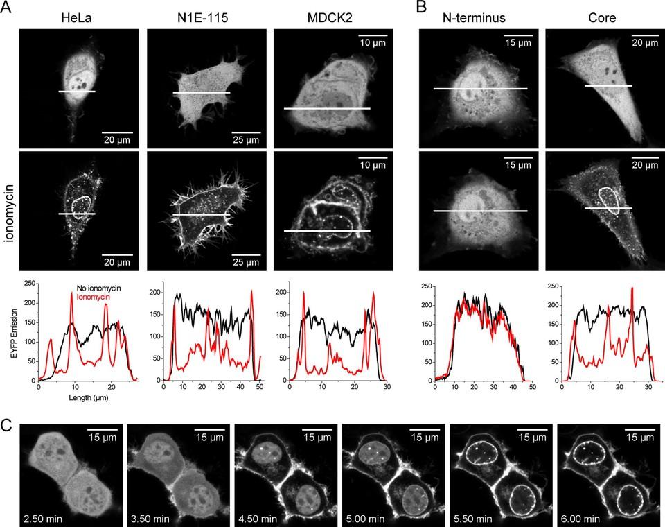 Annexin A4 self-association modulates general membrane ...