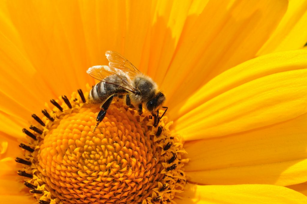 Bee pollinating on sunflower