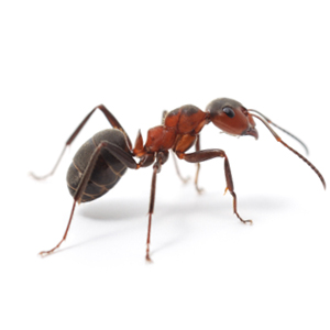 Photo of an Acrobat Ant