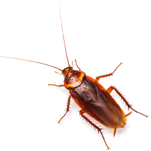 Photo of an American Cockroach