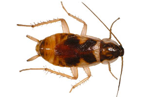 Photo of a Brown Banded Cockroach