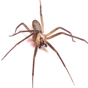 Photo of a Brown Recluse