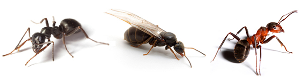 Photo of multiple Carpenter Ants